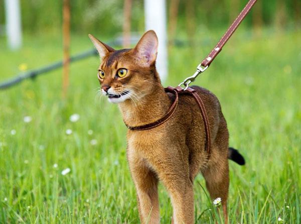 абиссинская кошка на поводке
