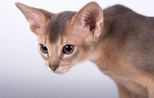 абиссинская кошка голубая